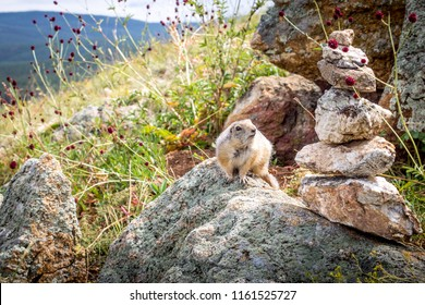 furry gopher sitting on a rock. gopher crawled out of the hole. cute gopher sitting on a green meadow on a Sunny day