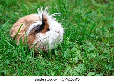 Furry guinea pig in the grass
