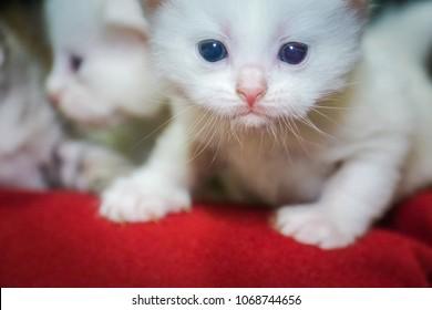 Furry little white kitten with blue eyes portrait.
