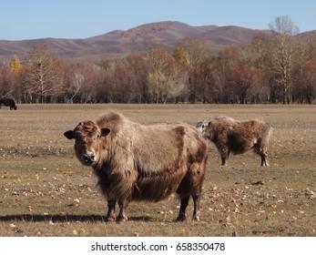 A furry Mongolian yak in Gorkhi Terelj National Park