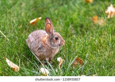 Furry small bunny