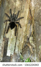 Furry tarantula alfresco walking along the tree trunk. Amazon forest in the Madidi National Park, Bolivia