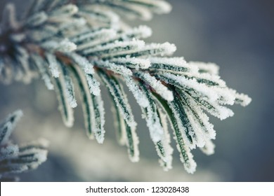 fur-trees covered with a snow