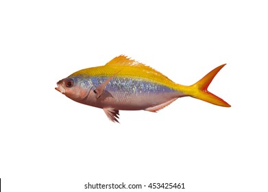 Fusilier fish from Maldives (Caesionidae) isolated on white background