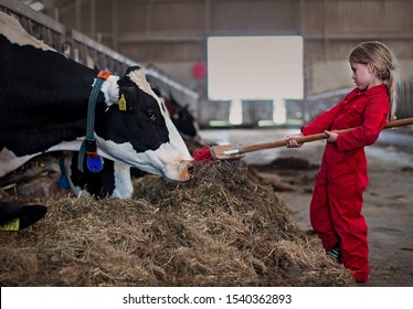 The future of farming: a young girl in a red overall feeding a cow hay with a broomstick in a stable in Zeeland, the Netherlands