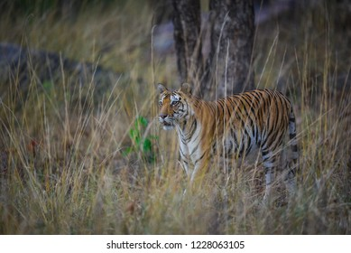 Future mother, A pregnant tigress from Kanha National Park, India