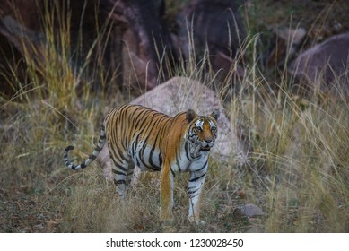 Future mother, A pregnant tigress from Kanha National Park