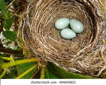 Future offspring blackbird in the nest