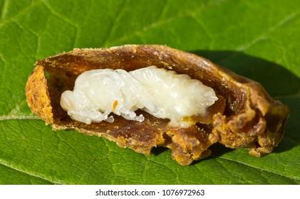 Future Queen Bee develops in a wax cocoon.