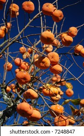 Fuyu Persimmons on tree against blue sky
