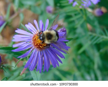Purple fuzzy flower images stock photos vectors shutterstock a fuzzy bumble bee pollinates a little purple flower in a garden on a sunny summer mightylinksfo