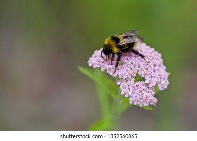 A fuzzy bumblebee gathering nectar on a flowering valerian herb. Location: Western Siberia.