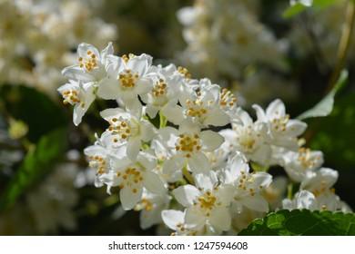 Fuzzy deutzia Macrocephala - Latin name - Deutzia scabra Macrocephala