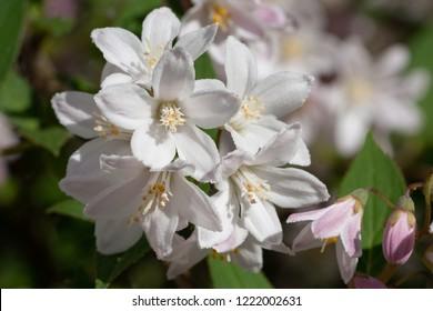 Fuzzy Deutzia (Deutzia scabra), close-up of the flower head