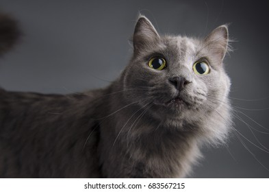 Fuzzy expectant gray cat with yellow eyes very alert.