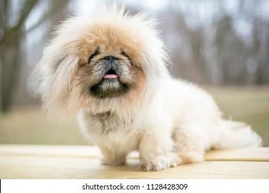 A fuzzy purebred Pekingese dog