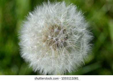 Fuzzy White Dandelion Seed Head in Macro