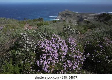 fynbos, Cape Point, South Africa, Atlantic Ocean