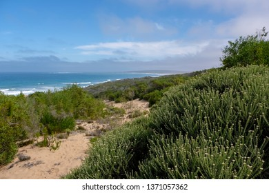 Fynbos on the Oyster Catcher Trail on the coast near Boggams Bay and Mossel Bay, on the Garden Route, South Africa