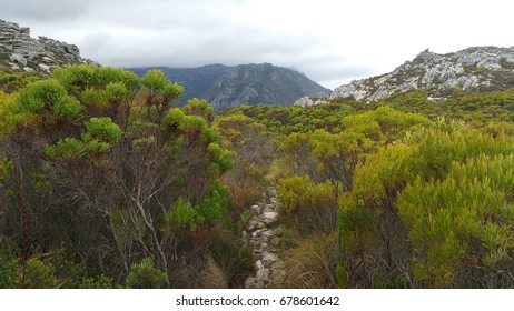 Fynbos at Table Mountain National Park, Western Cape, South Africa