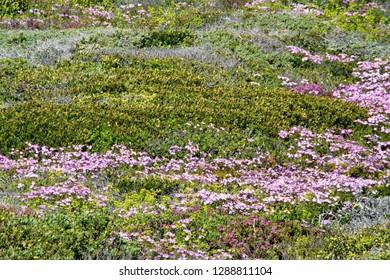 Fynbos vegetation blooming with spring wildflowers outside of Gansbaai, South Africa