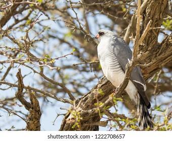 Gabar goshawk close-up in tree