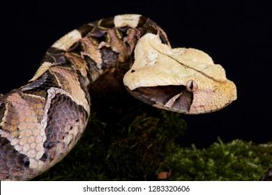Gaboon viper (Bitis gabonica gabonica)