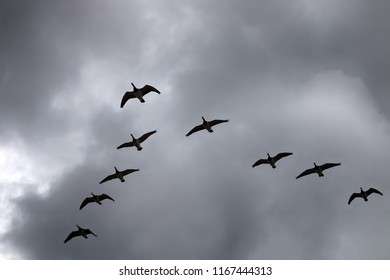 Gabriel's hounds. Phenology of autumn life. Barnacle goose fly South wedge pack (skein) and sad cries, geese bring sadness to heart. Cloudy rainy sky winter comes