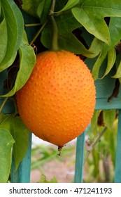 Gac Baby Jack fruit
