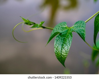 Gac fruit leaves with blur background (Baby Jackfruit, Cochinchin Gourd, spiny bitter Gourd, Sweet Gourd)
