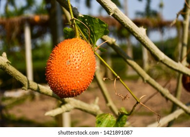 Gac fruits or Fak-Kao is the size of a small melon.The fruits first appear green, but later ripen to a dark orange color.