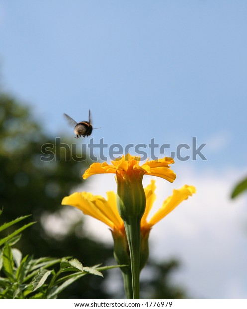 Gadfly flying over the yellow flower.