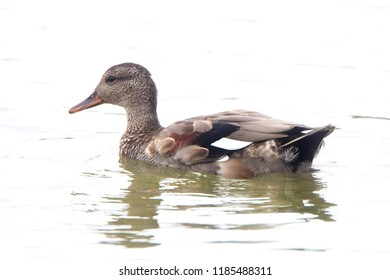 Gadwall, (Anas strepera) moulting male, Gloucestershire, England, UK.