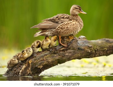 Gadwall duck, Anas strepera. Female with group of chicks in row in lovely pose under her wings on slanting old trunk above yellow flowering water against  yellow flowers and green reeds in background