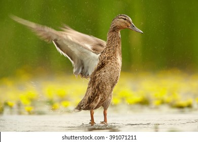 Gadwall duck, Anas strepera. Isolated female waving her wings, standing in calm water with yellow water lilies in blossom against blurred green reeds in background. Spring, Hungary.