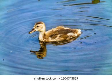 Gadwall Duck Duckling Juanita Bay Park Lake Washington Kirkland Washiington