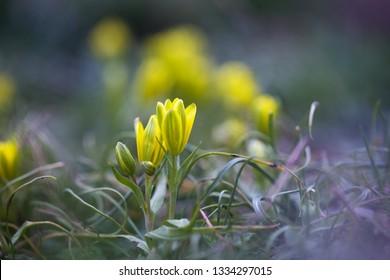 Gagea flowers ( Gagea bohemica )