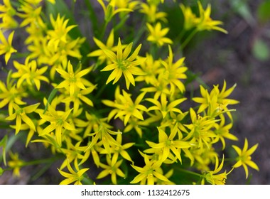 Gagea lutea or the Yellow Star-of-Bethlehem in the spring park