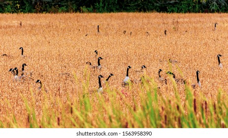 A gaggle of Canada geese has gathered in a field of tall grass that has browned in the fall season. The heads and necks of the birds in this flock stick out from tall plants obscuring their bodies.