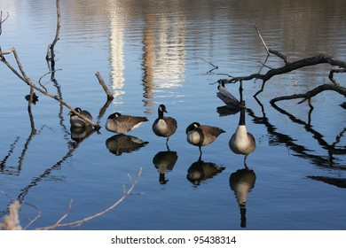 A gaggle of Canada Geese reflecting over the water.