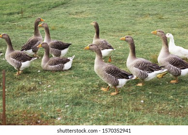 Gaggle of domestic geese near the coop in late afternoon. Rural farm. Selective focus.