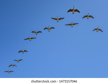 A gaggle of geese fly in formation across a bright blue sky.