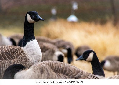 A gaggle of geese on a grassy field with one on the lookout.