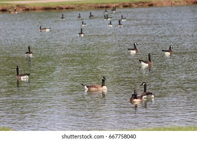 Gaggle of geese swimming