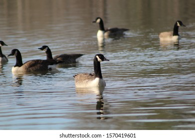 A gaggle of geese swimming around
