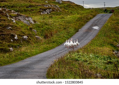 A gaggle of geese waddling down a country road on the Hebridean island of Eriskay