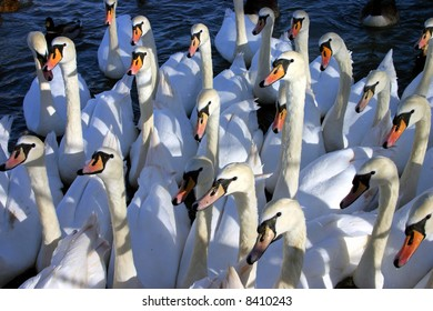 A gaggle of hungry swans look on attentively in the hope of food !