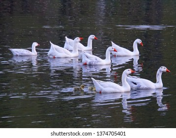 A gaggle of snow geese on the pond near Carousel Park, Pike Creek, Delaware, U.S.A