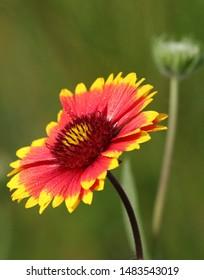 A gaillardia flower in the garden