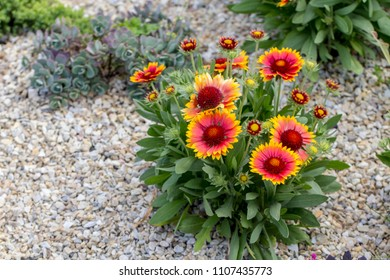 Gaillardia flower red Flower of the Aster family, used in landscaping, and for creating holiday bouquets